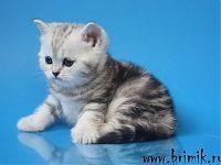 купить шотландского котенка в Москве фото цена