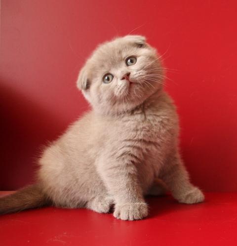 Лиловый шотландский вислоухий котенок скоттиш фолд