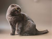 Британские вислоухие кошки фото