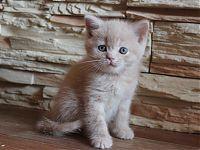 Кремовый британский котенок