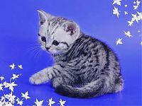 Шотландский котенок из рекламы Вискас фото