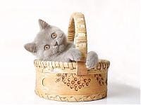 Лиловый британский котенок