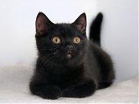 Черный котенок скоттиш страйт - продаю