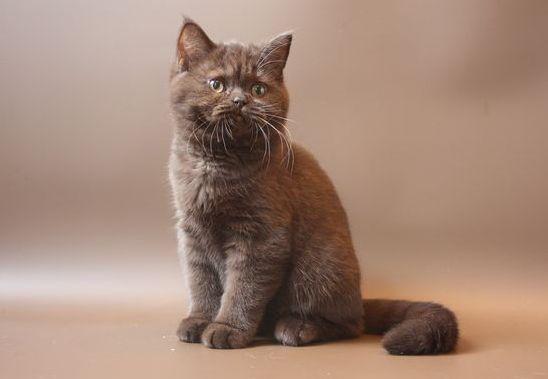 Шоколадный британский котенок фото
