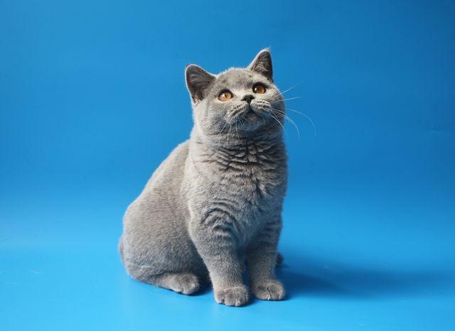Голубой британский котенок 3 месяца. Элитные котята фото