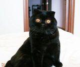 Шотландский вислоухий черного окраса